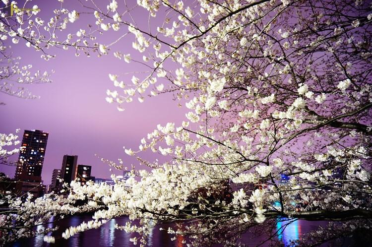 گزارش تصویری از شکفتن شکوفه های گیلاس در ژاپن